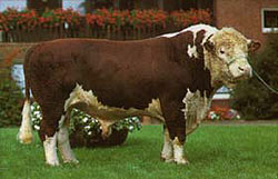 German Hereford